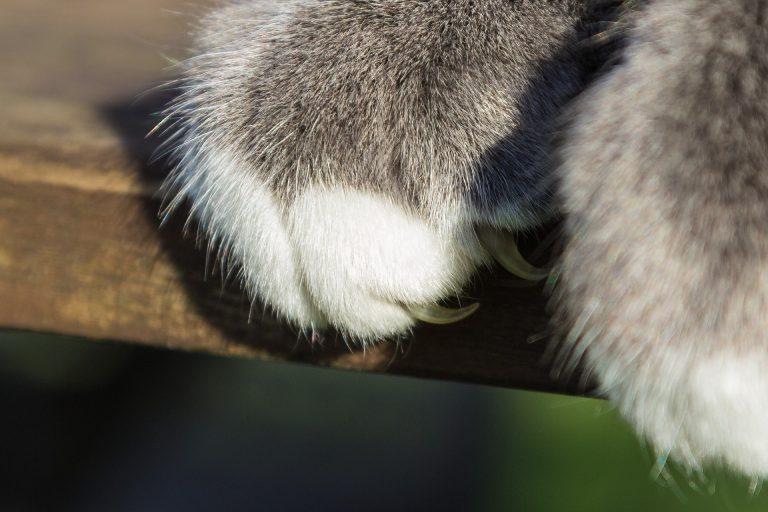 Bartonella cat scratch